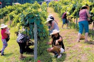 Colheita manual da uva: ao final, turista participaram da pisa